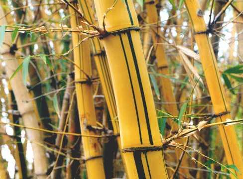 Tipos de caules s biologia - Tipos de bambu ...