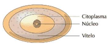 Resultado de imagem para ovos centrolécito