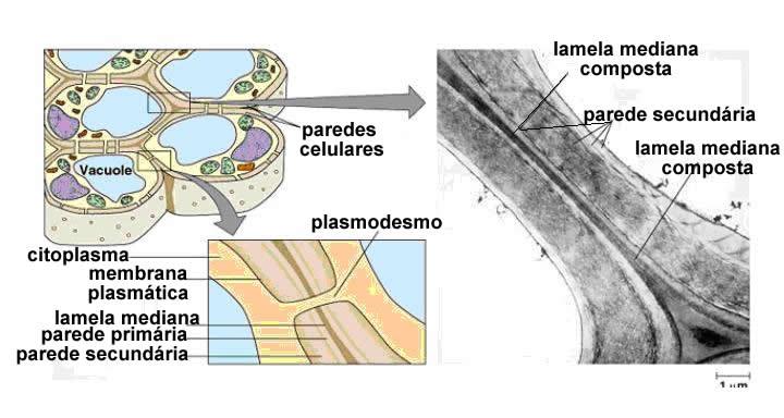 celula vegetal e animal. Células vegetais jovens