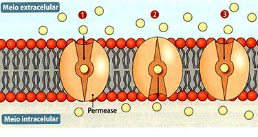 external image permease.jpg