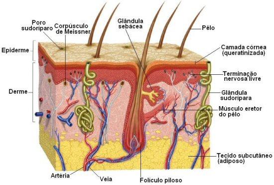 Resumo sobre anatomia humana