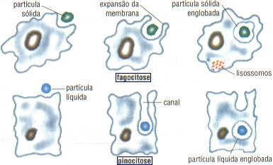 external image lisossomos2.jpg