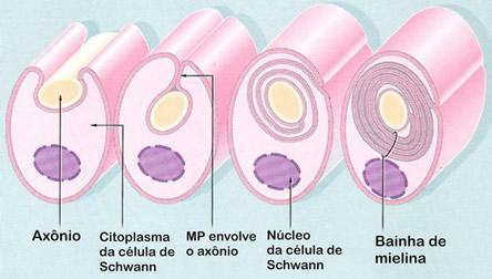 Condução Do Estímulo Nervoso Só Biologia