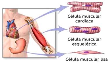 Tecidos e fibras musculares