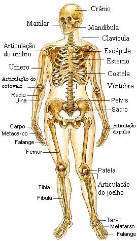 Esqueleto apendicular - Só Biologia