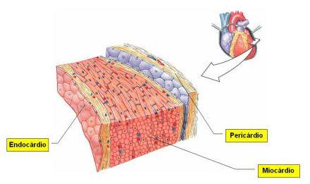 Tecido Muscular Estriado Cardíaco Só Biologia