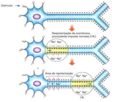 Transmissão do impulso nervoso - Só Biologia