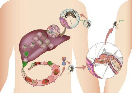 Plasmodium maláriabiológia)