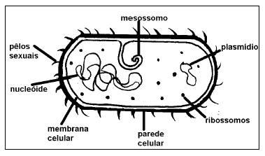 Reprodução Das Bactérias Só Biologia