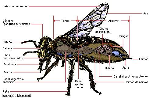 Artrópodes .:: Só Biologia ::. Queen Termite Anatomy